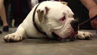White english bulldog lying on the floor