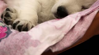 White little dog sleeping on the bed
