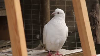 White pigeon video stock footage