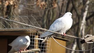 White pigeons video stock footage
