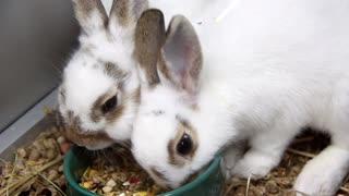 White rabbits in cage