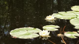 White water lily with big green leafs in lake