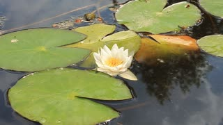 White water lily with big green leafs