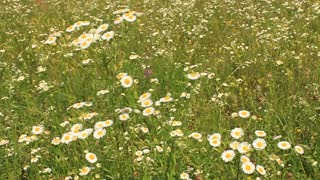 Wild camomiles on green field