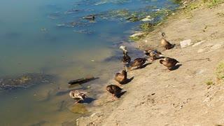 Wild ducks prink by river
