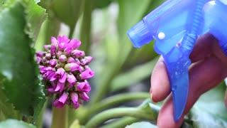 Woman sprays water on the beautiful purple flower. Watering