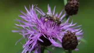 Worker bee on a purple flower
