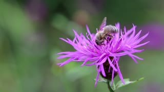 Worker bee on a purple flower