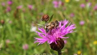 Worker bee on pink flower