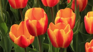 Yellow and red tulips on flowerbed