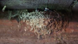 Yellow-beaked nestlings inside the nest. Swallow chicks in the nest. Swallow made a nest in the cowhouse