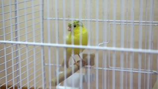 Yellow canary bird in the cage