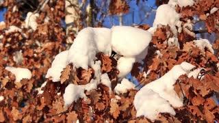 Yellow oak leaves under snow