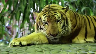 Yellow tiger lying on stone paving