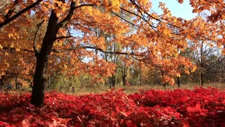 Yellow tree and red foliage