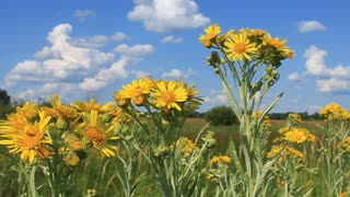 Yellow wild flowers on sky background with clouds