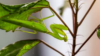 CLOSE-UP shot of a green praying mantis on a swinging leaf being still pretending to be a part of the plant while hunting. At the end it looks at the camera