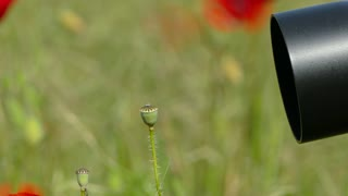 CLOSE UP side shot. Black camera objective directed on several deflorated poppies moving with the wind in summer field among green grass on blurred background