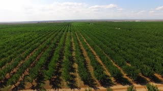 In the frame there is a bird's eye view over numerous rows of green apple trees moved by the wind in large standard orchard divided by paths captured at bright sunny day