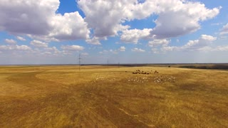 This is an aerial shot of mixed herd of white goats and brown cows grazing together at stubble golden field with cloudy sky on background