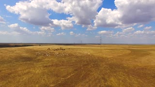 This is an aerial shot over mixed livestock of white goats and brown cows grazing together at stubble golden field.  Beautiful cloudscape on backgroun