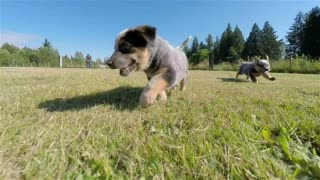 Bunch of Australian cattle dog puppies running in a grassy field