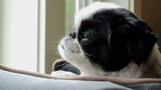 Cute Japanese Chin dog turns her head to look at the camera