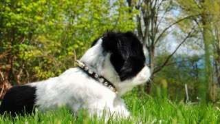 Japanese Chin dog lying in green grass on a warm sunny summer day