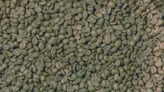 Raw green coffee beans being poured into the drum of a roasting machine