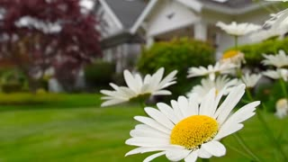 Small American suburban home with daisies in front yard