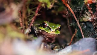 The Pacific tree frog (Pseudacris regilla), also known as the Pacific chorus frog