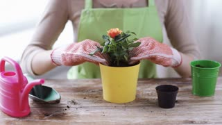 people, gardening, flower planting and profession concept - close up of woman or gardener hands planting and watering roses with can at home