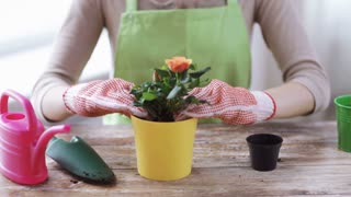people, gardening, flower planting and profession concept - close up of woman or gardener hands planting roses and adding soil to flower pot at home