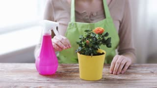 people, gardening, flower planting and profession concept - close up of woman or gardener hands spraying roses with sprayer in pot at home
