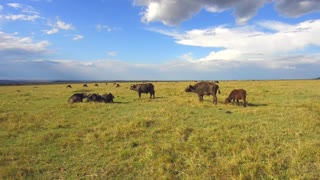 animal, nature and wildlife concept - buffalo bulls with calf gazing in maasai mara national reserve savanna at africa