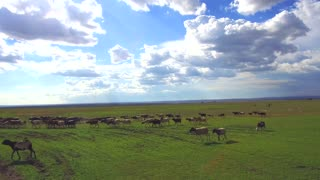 animal, nature and wildlife concept - flock of sheep gazing in savanna at africa