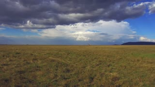 animal, nature and wildlife concept - giraffes walking along maasai mara national reserve savanna at africa