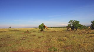 animal, nature and wildlife concept - group of giraffes eating tree leaves in maasai mara national reserve savanna at africa
