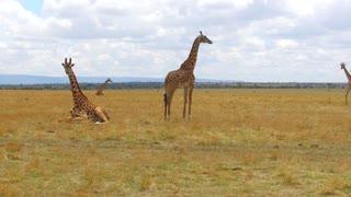 animal, nature and wildlife concept - group of giraffes in maasai mara national reserve savanna at africa