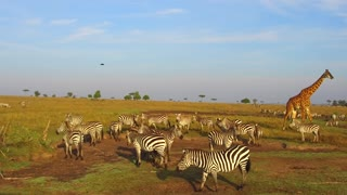animal, nature and wildlife concept - herd of zebras and giraffe grazing in maasai mara national reserve savanna at africa