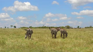 animal, nature and wildlife concept - herd of zebras grazing in maasai mara national reserve savanna at africa