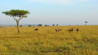 animal, nature and wildlife concept - wildebeests grazing in maasai mara national reserve savanna at africa