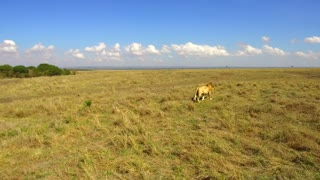 animal, nature and wildlife concept - young lion hunting in maasai mara national reserve savanna at africa
