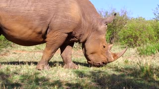 animal, nature, fauna and wildlife concept - rhino grazing in savanna at africa