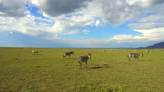 animal, nature, safari and wildlife concept - zebras grazing in maasai mara national reserve savanna at africa