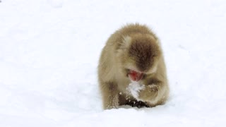 animals, nature and wildlife concept - japanese macaque or monkey searching food in snow and eating