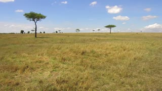 nature, landscape, safari, environment and wildlife concept - acacia trees in maasai mara national reserve savanna at africa