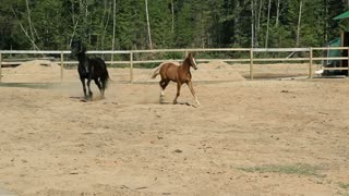 A black horse and a brown foal are having fun at the ranch on a clear summer day in the fresh air