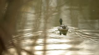 A view from the eyes of a hunter who is tracking a duck through the green bushes
