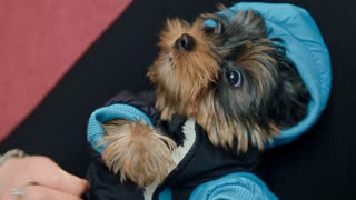A woman-owner is putting a blue overalls on a terrier. The dog is lying on the breeder's knees